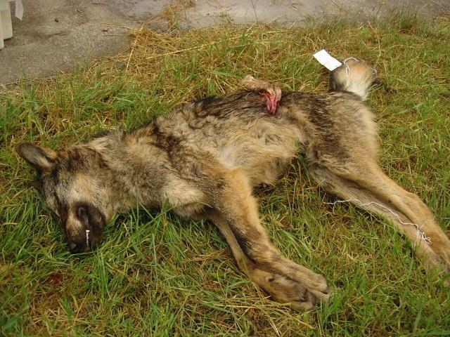 Conservacionistas acusan al Principado de ocultar información sobre los controles a los lobos