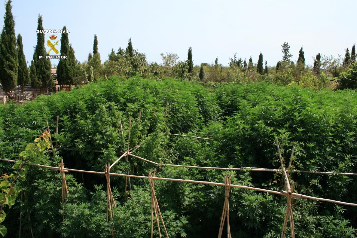 Desmantelan dos plantaciones de marihuana con 142 plantas en el Alt Empordà
