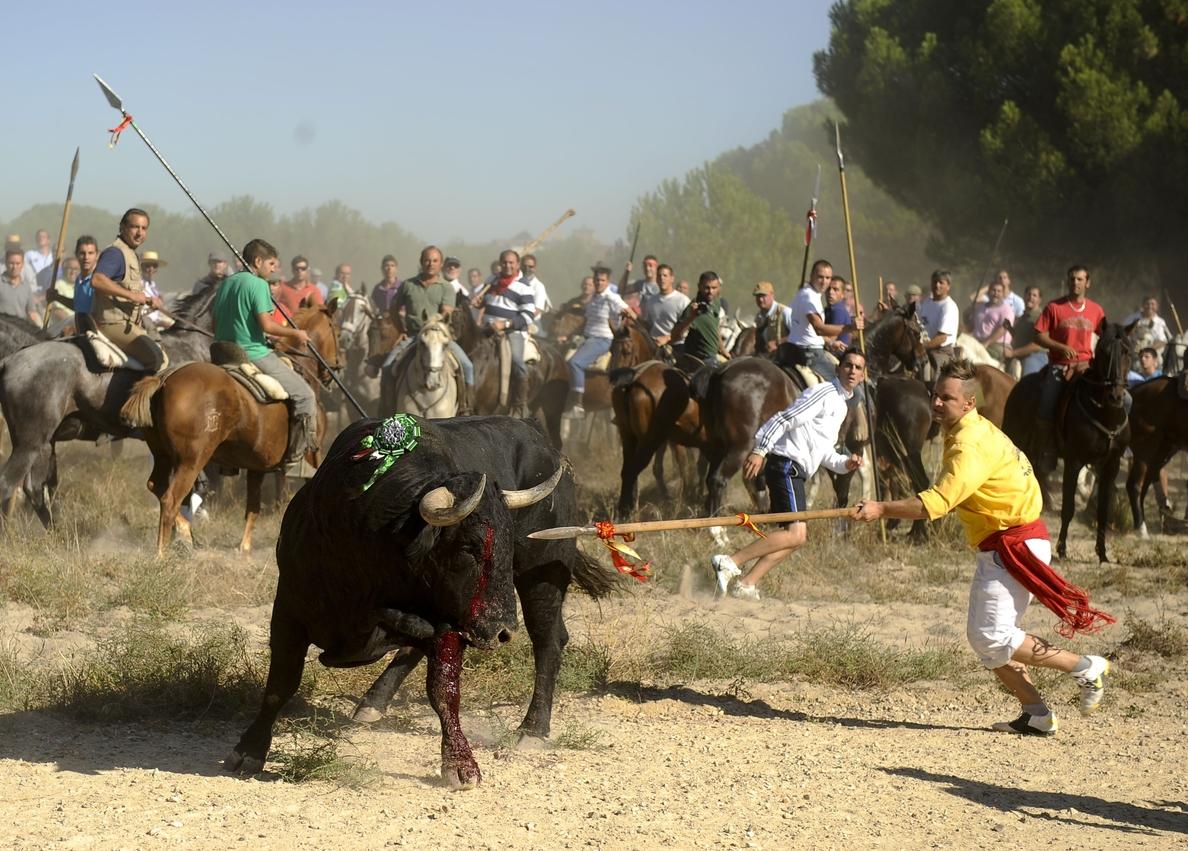 Diputada del PP defiende la «costumbre» del »Toro de la Vega» de Tordesillas y dice que está «tremendamente regulado»