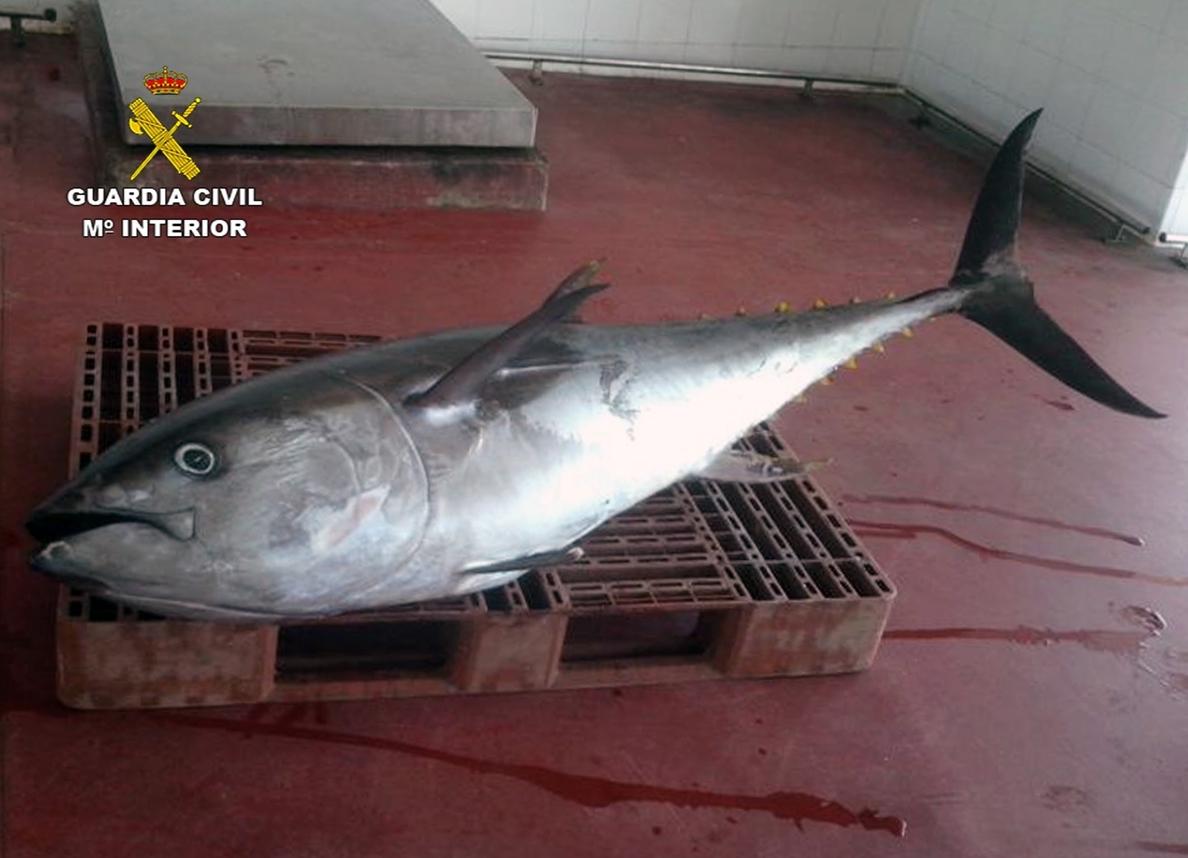 La Guardia Civil decomisa en Portmán un atún rojo de 75 kilos capturado ilícitamente