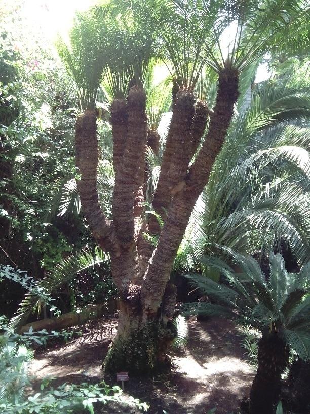 Jungle Park (Tenerife) cuenta con uno de los árboles más longevos del mundo, con más de 400 años