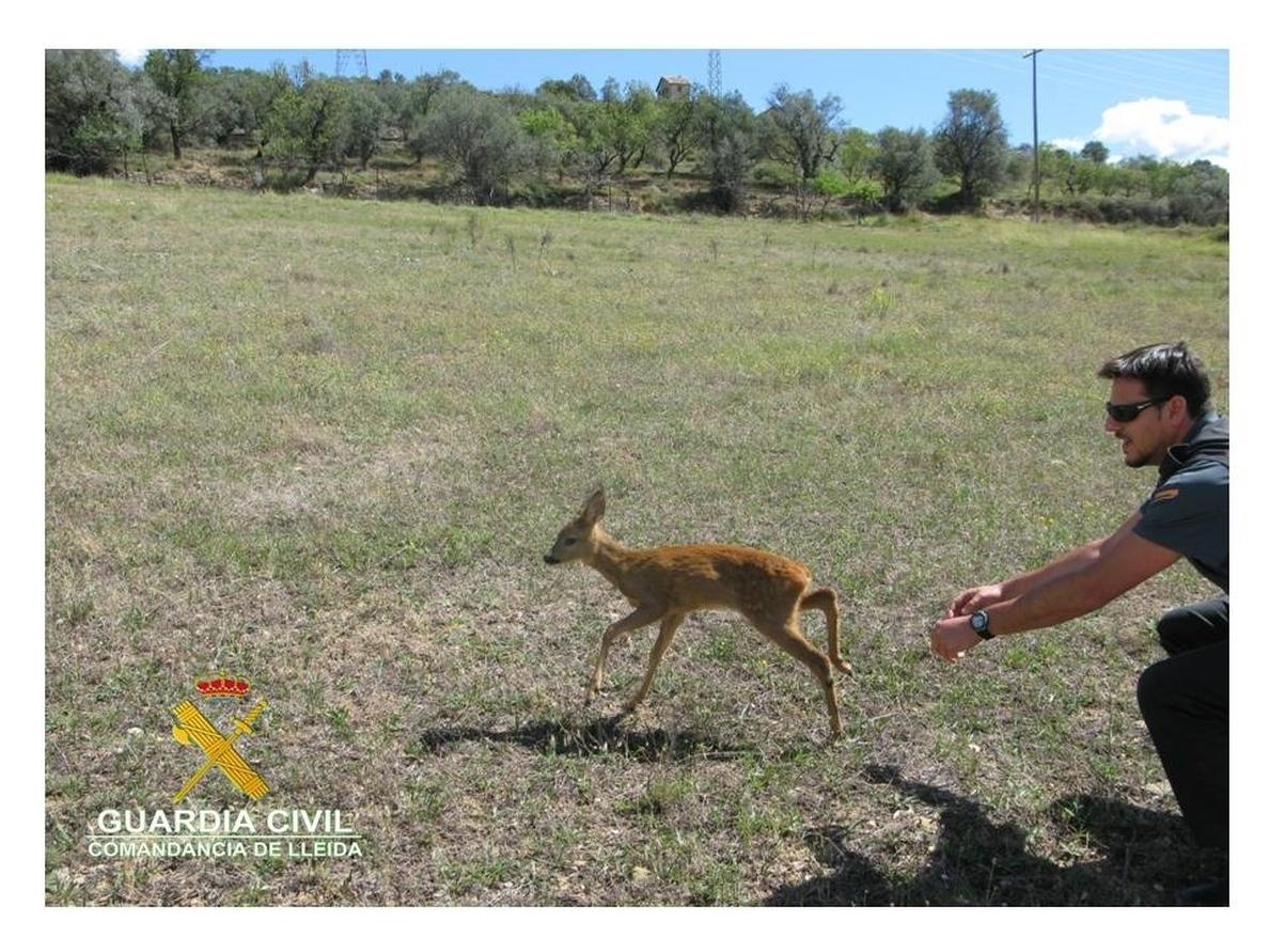 Rescatan una cría de corzo desorientada en una carretera de la Pobla de Segur (Lleida)