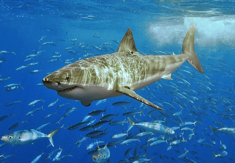 Más de 4.500 personas piden a través de Change.org que Canarias se considere santuario de tiburones y rayas