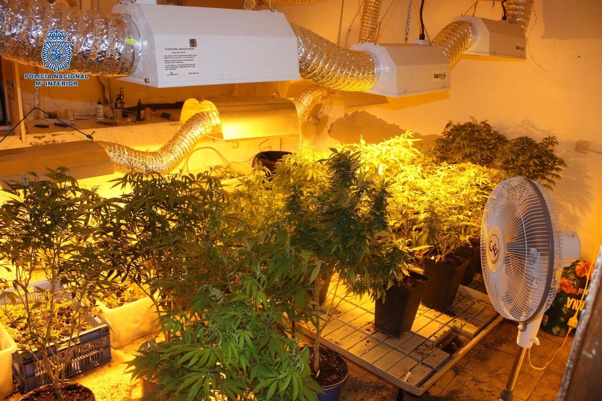Doce detenidos en Cáceres de una organización dedicada al cultivo y distribución de marihuana y cocaína
