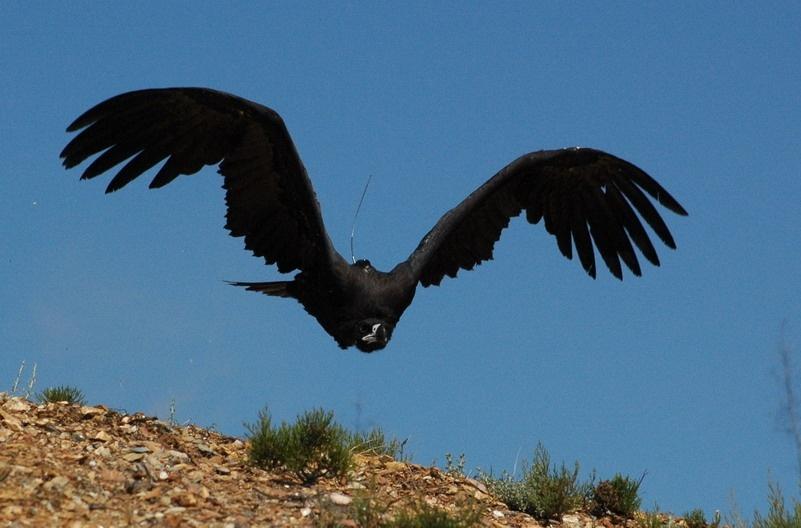 Medio Ambiente confirma la recuperación del buitre negro en Andalucía con la presencia de 325 parejas reproductoras