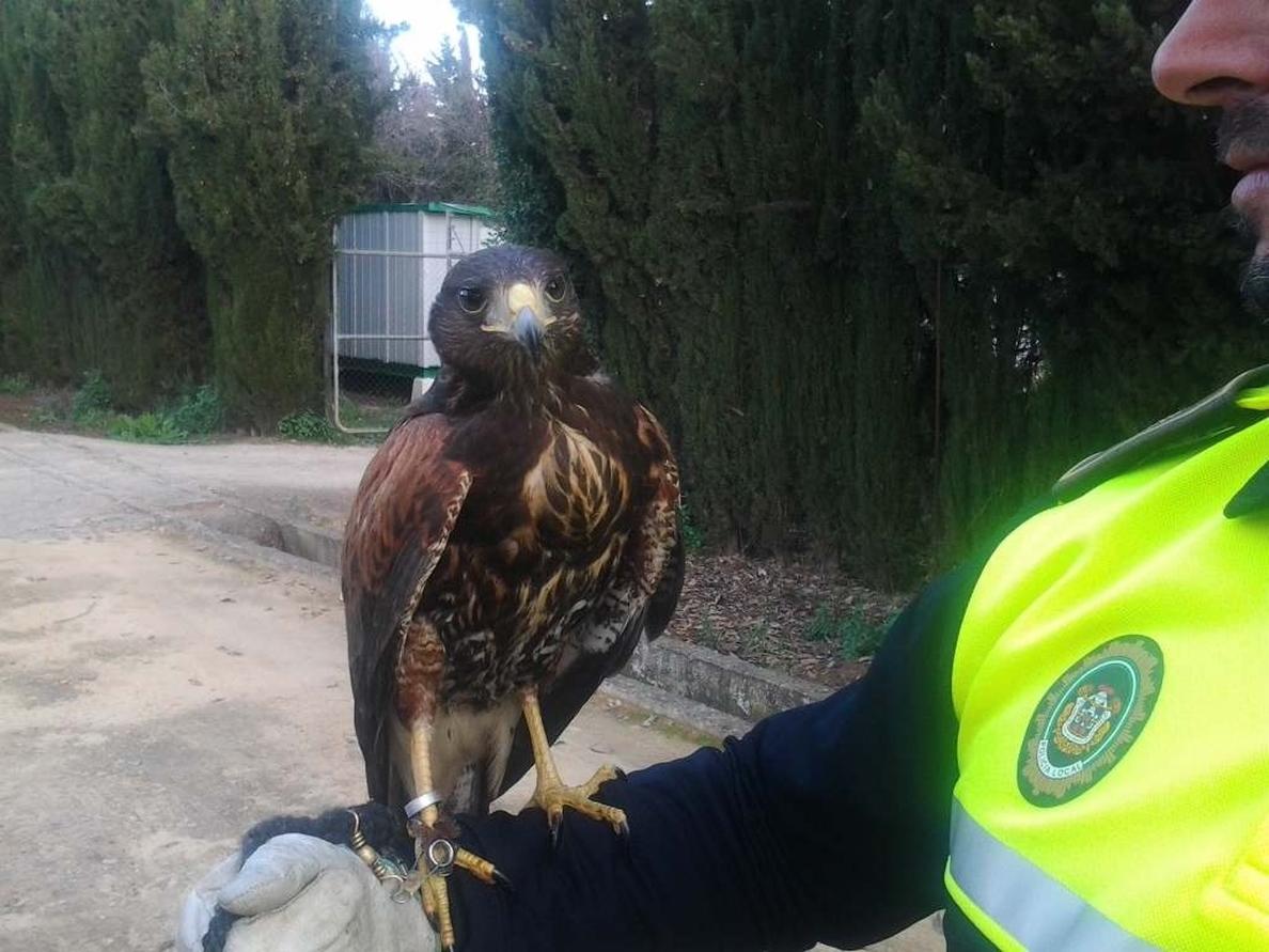 Policía Local y Bomberos rescatan un águila atrapada en un árbol en la barriada de Parque Atlántico