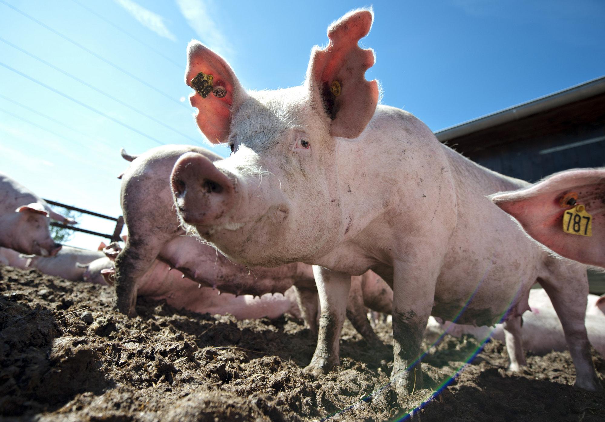 La carne de cerdo se debe comer toda la vida por sus beneficios