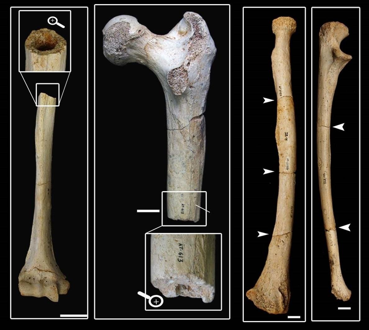 Un nuevo estudio descarta que humanos y carnívoros fracturaran los fósiles humanos de la Sima de los Huesos