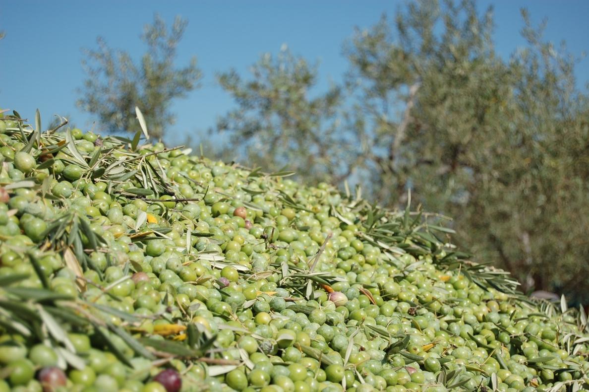 Apag Extremadura Asaja pide una rebaja fiscal para los olivareros ante la «desastrosa» cosecha de la última campaña