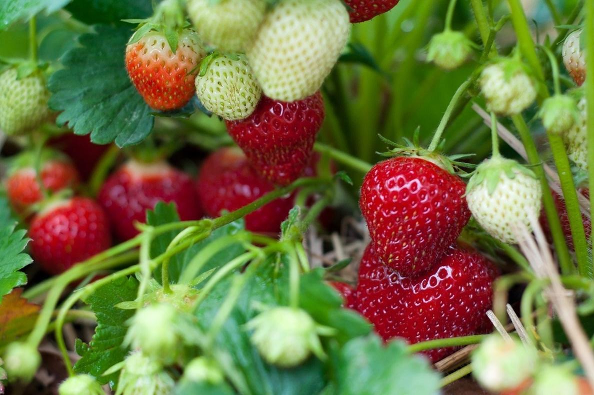 Encuentran propiedades nutritivas y antioxidantes en los raíces y hojas de las fresas silvestres