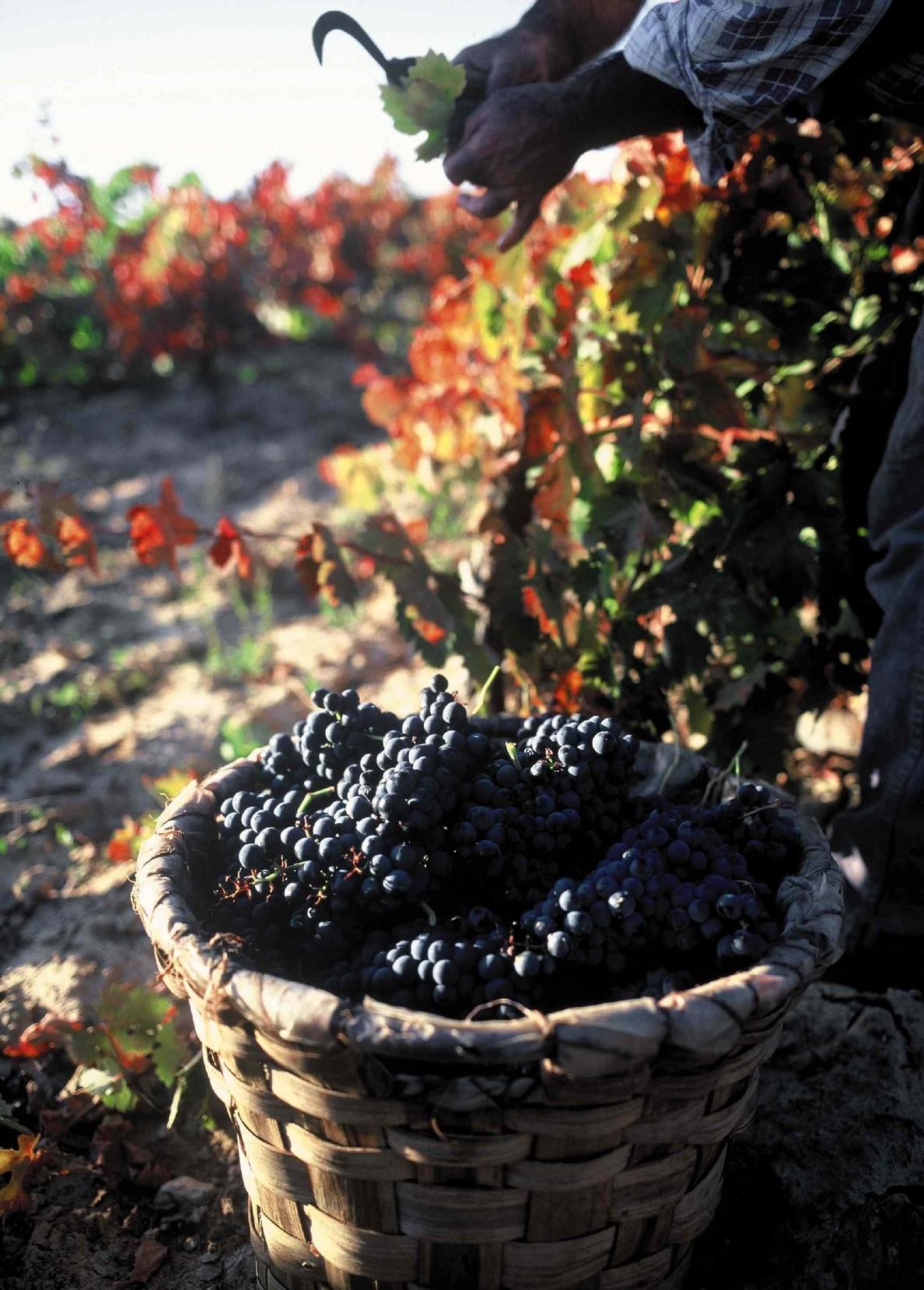 Rioja eleva los rendimientos máximos de producción amparables ante las buenas expectativas de cosecha
