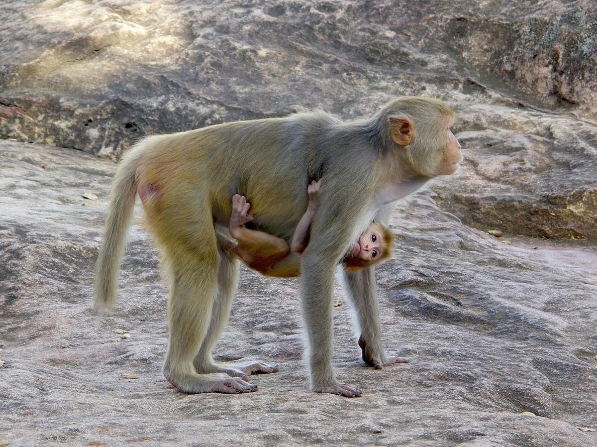 Los virus relacionados con el VIH infectan a los primates desde hace 16 millones de años