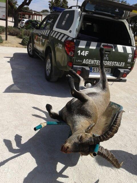 Agentes forestales recogen a una cabra montesa muerta que se había colado en un chalé de Manzanares