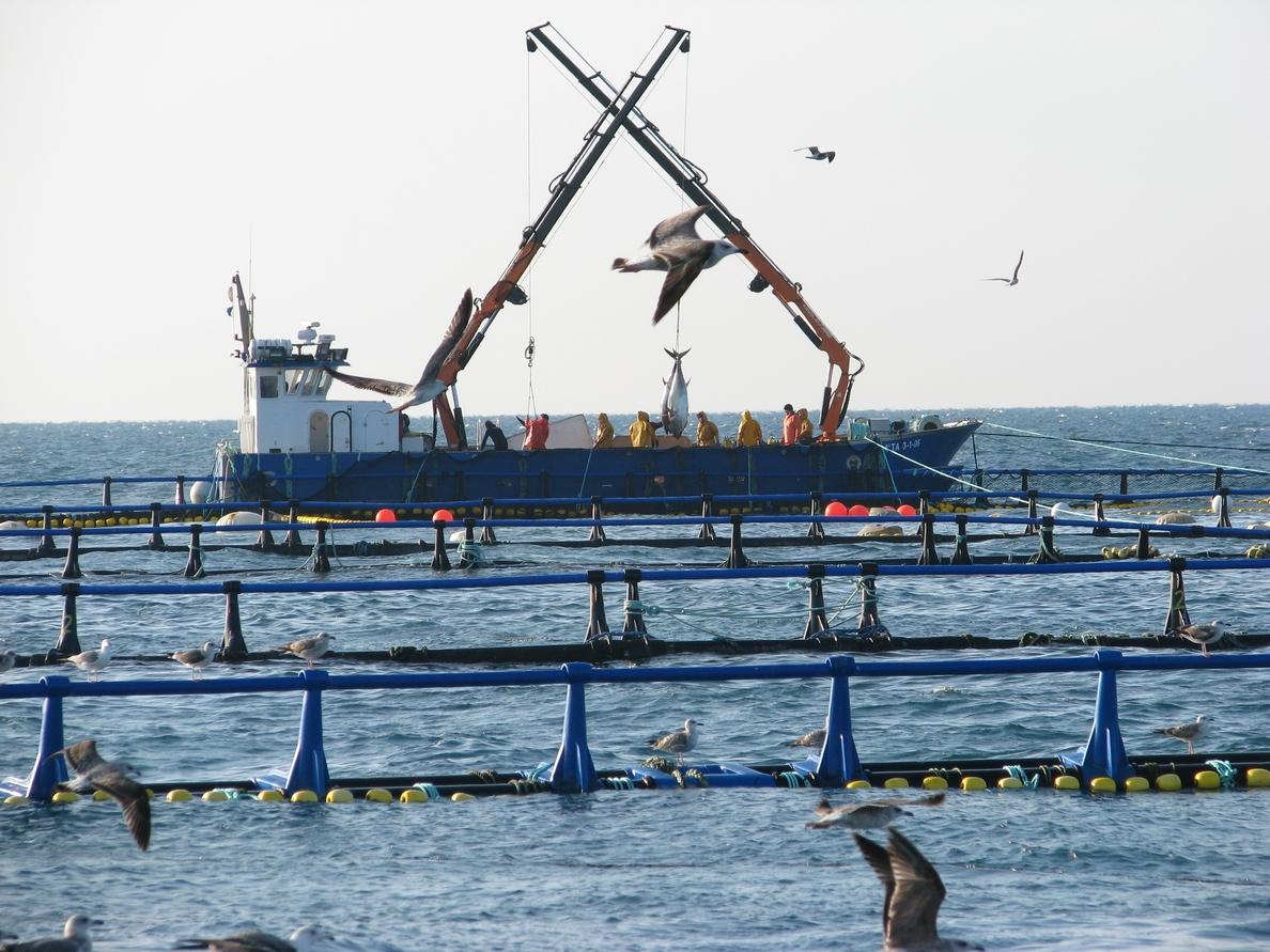 Balfegó solicitará que los países de ICCAT cierren sus fronteras al atún rojo de Turquía