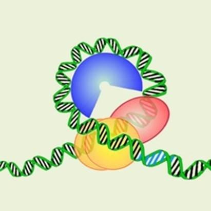 Un estudio muestra que en los centrómeros de los cromosomas de levadura el ADN se enrrolla al revés
