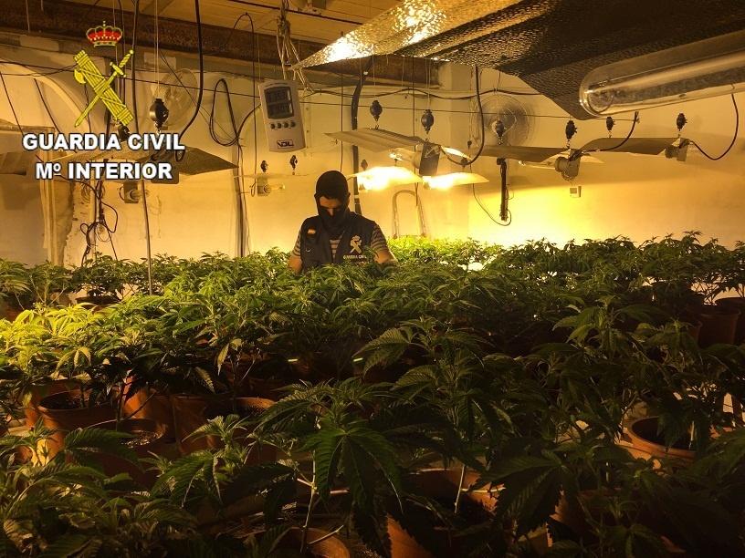 Intervienen 940 plantas de marihuana y 2.500 esquejes en «viveros» ilegales de Carlet