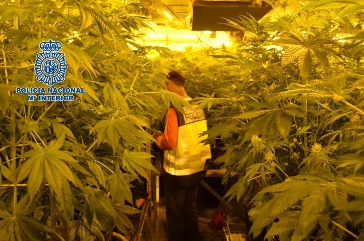 Un detenido y casi 800 plantas de marihuana incautadas en un chalé de Linares