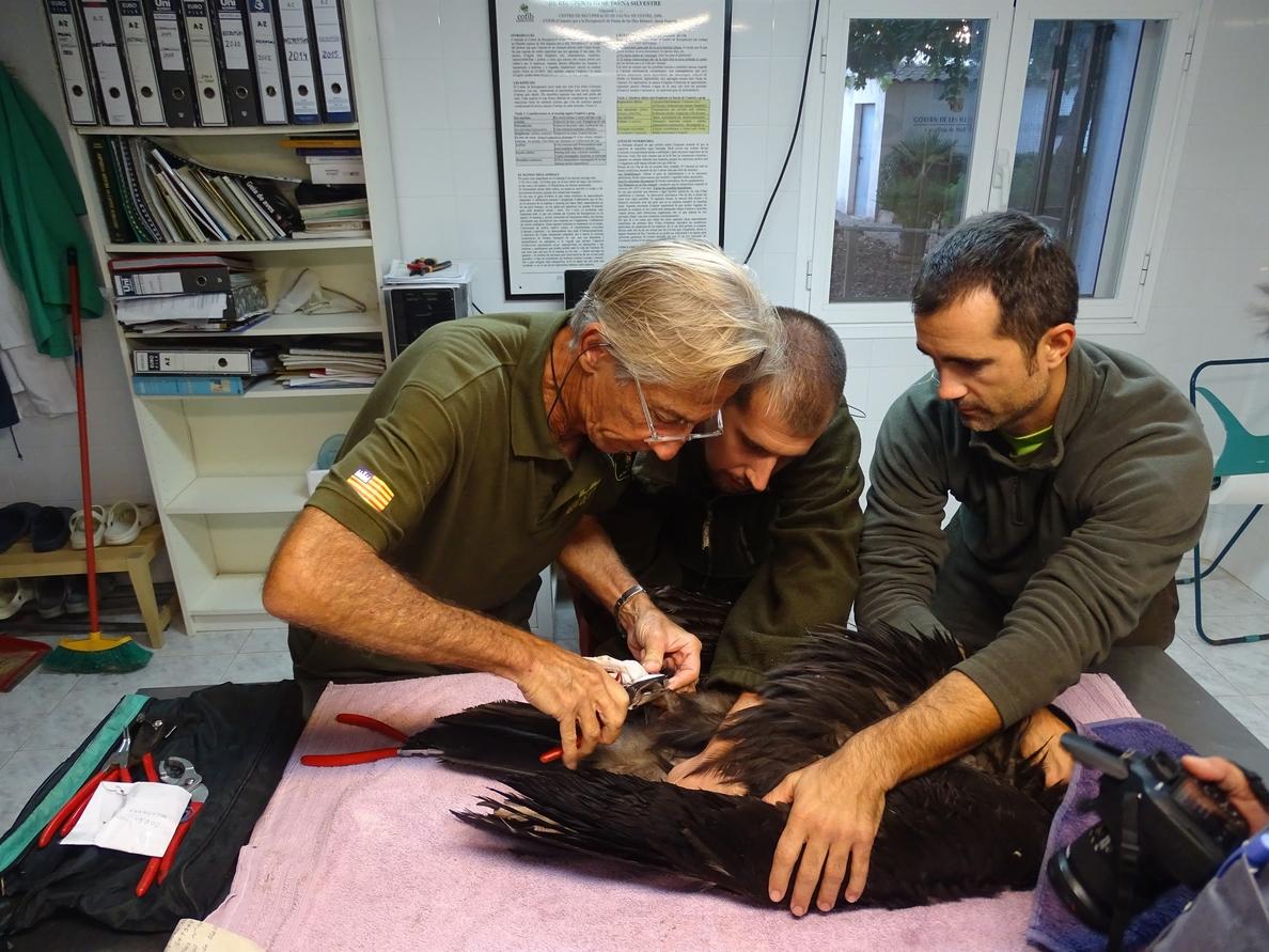 Liberado un ejemplar de buitre negro recuperado por el Cofib