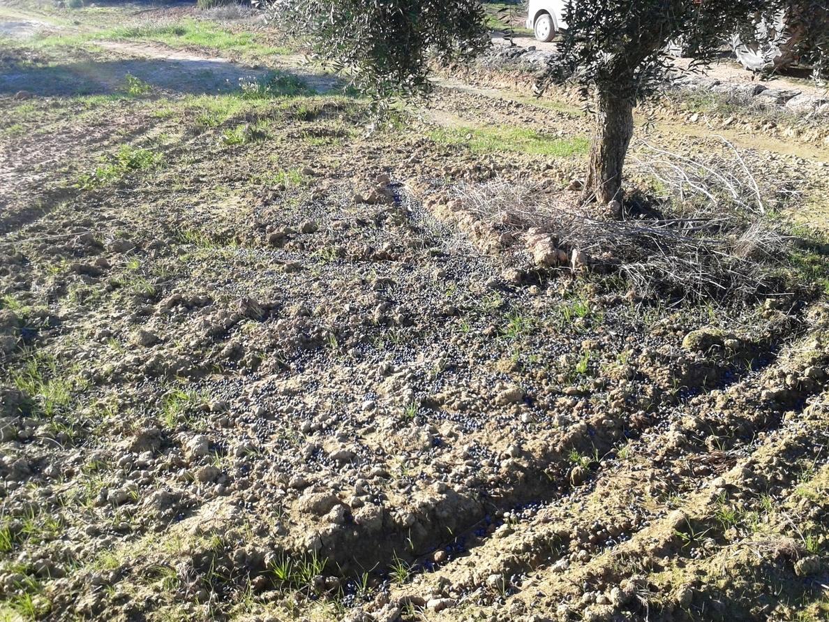 La cosecha de aceitunas cae un 20% en Catalunya por el temporal del fin de semana