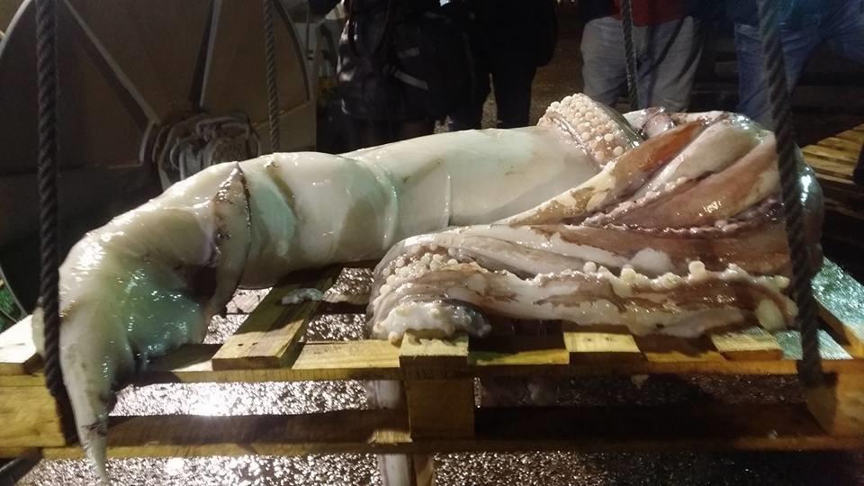 El Parque de la Vida expondrá el nuevo calamar gigante capturado tras realizar la necropsia