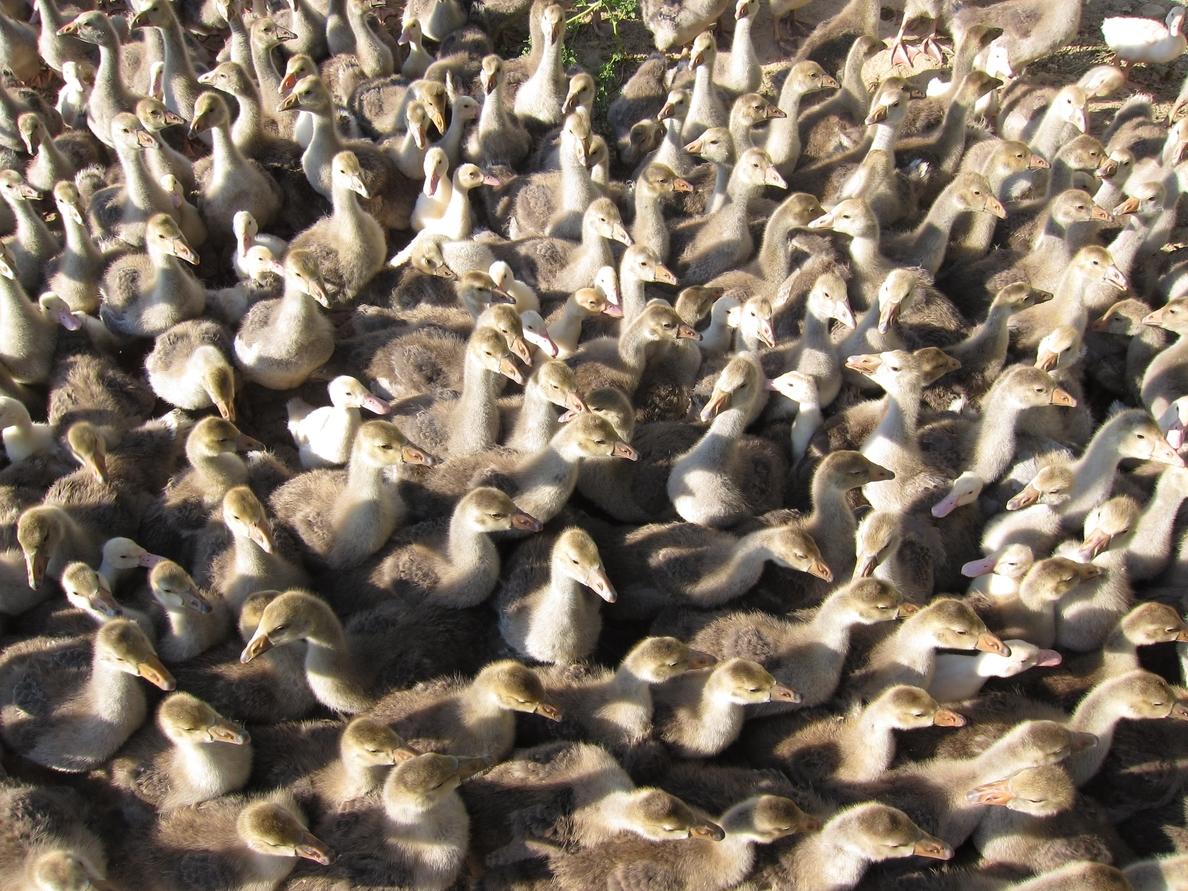 La gripe aviar reaparece en Filipinas y el ejército sacrifica 600.000 aves