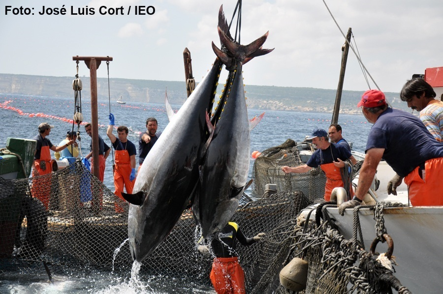 Andalucía defiende el aumento de las capturas de atún rojo para 2018 en la reunión de la Iccat