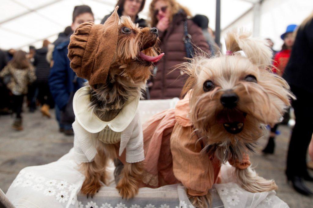 Las mascotas también se disfrazan en el carnaval de Toro (Zamora)