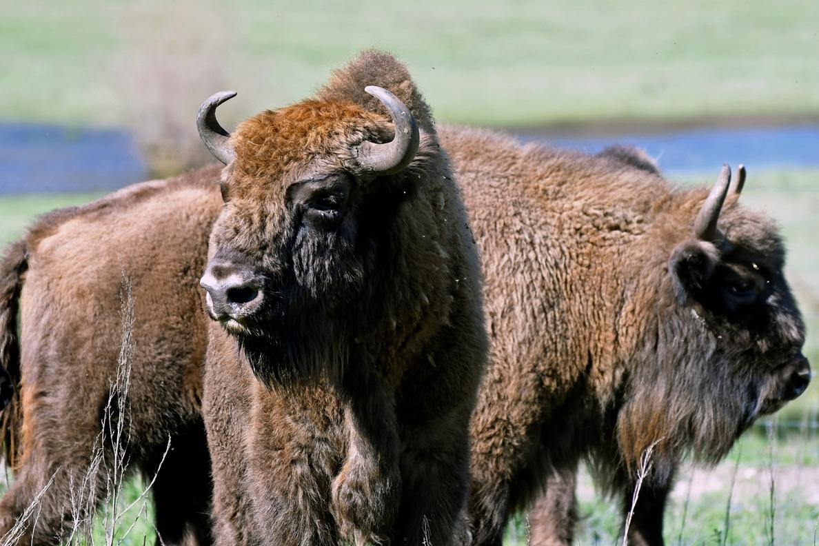 El bisonte vuelve a Segovia después de miles de años para evitar su extinción
