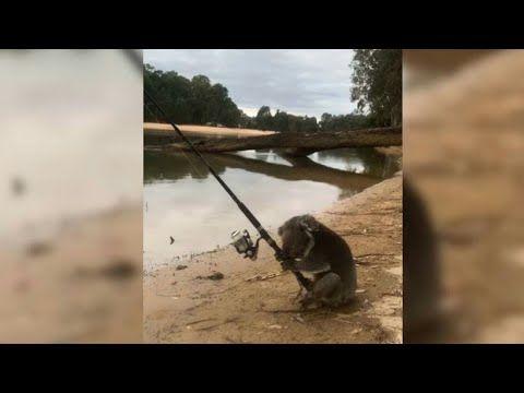 Graban a un koala »pescando» en Australia