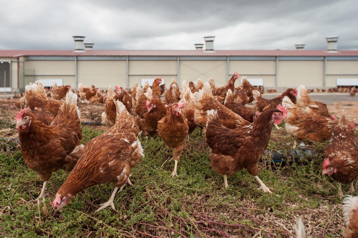 Mercadona y Huevos Guillén Canarias desarrollan el proyecto de la granja de huevos camperos