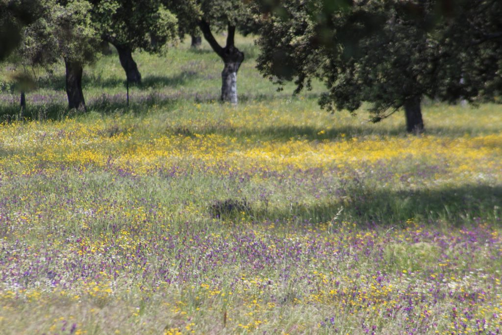 Junta de Andalucía destina 10,6 millones de euros para la conservación y mejora de los pastos en los sistemas de dehesas