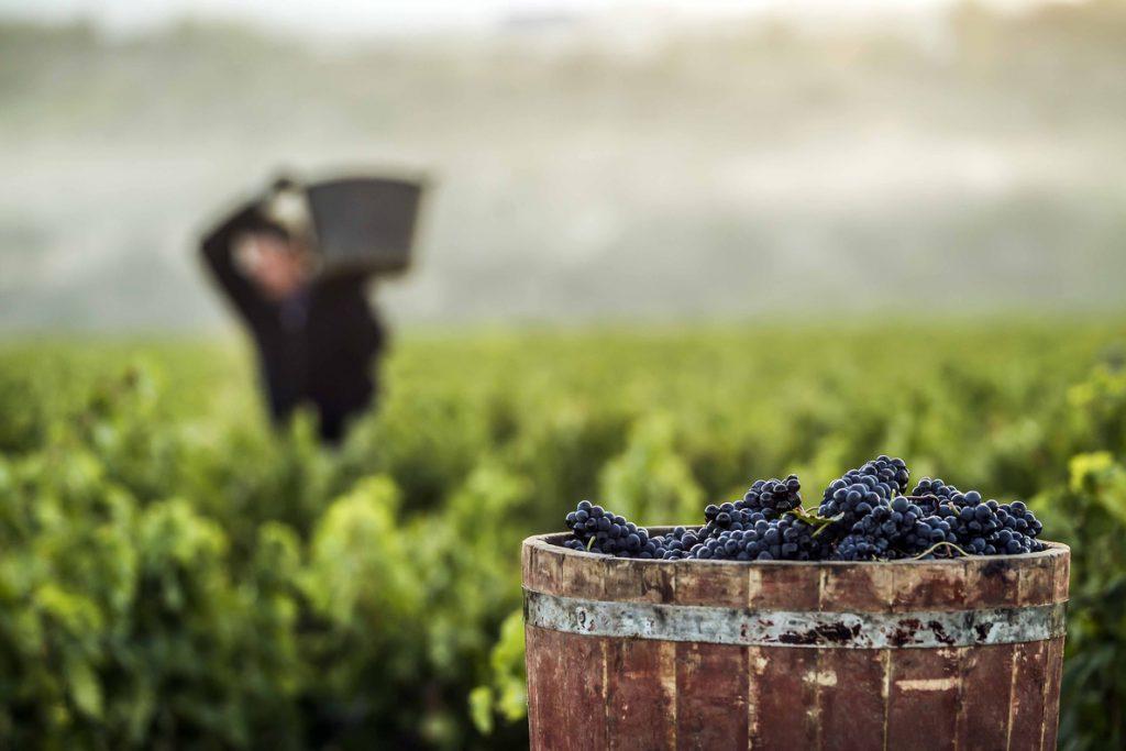La campaña de vendimia en la Denominación de Origen Rioja alcanza este año los 486 millones de kilos