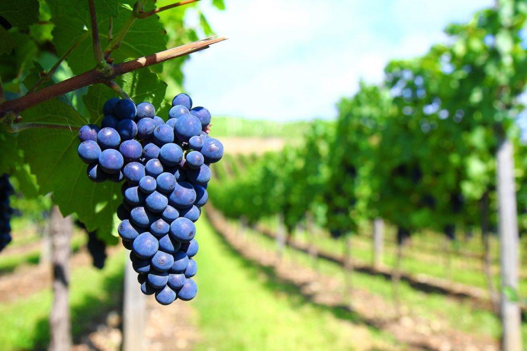 Fepex cree que la exportación de uva de mesa a China es una «oportunidad única» para diversificar mercados