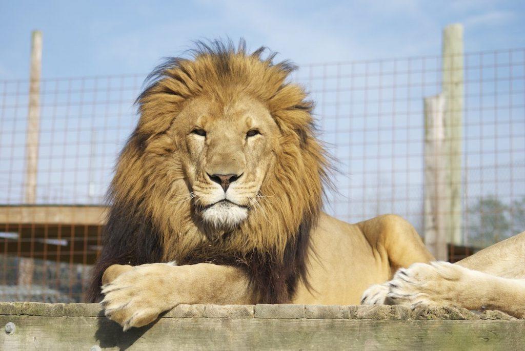 Un muerto tras escaparse un león en un centro de fauna de Carolina del Norte